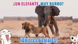 ¿Un Elefante muy burro?